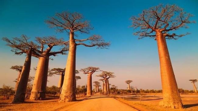 أقدم وأغرب أشجار إفريقيا تموت بشكل غامض