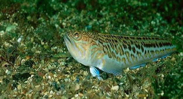 """لا تأكل هذه الأسماك ولا تلعب معها.. انتشار وتزايد أعداد """"الويفير"""" يُهدّد السياحة والصحة"""