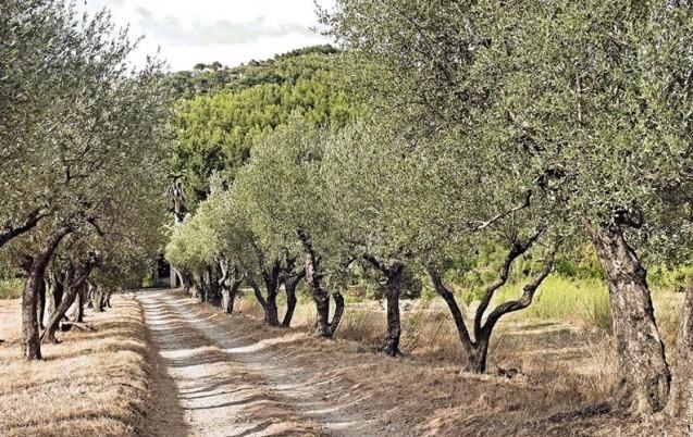 المنخفض الجوي اصاب أشجار الزيتون بمرض عين الطاووس