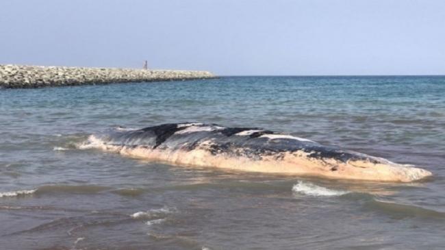 حوت نافق على سواحل الإمارات في ظاهرة نادرة