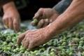 توقعات:انتاج زيت الزيتون هذا العام بين 2500-3500 طن