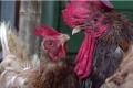 """يحرم الناس من النوم ويجلب فئراناً """"بحجم قط"""".. الدجاج الوحشي يغزو قرية نيوزيلندية"""