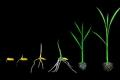 لأول مرة.. تصوير ديناميكيات تحرك جذور النبات للوصول إلى الماء والمغذيات