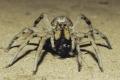 عناكب تلتهم ثعابين تفوقها حجما بمئات المرات
