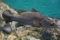 ما أكبر أسماك المياه العذبة في العالم؟