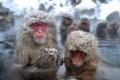 حتى القردة تستمتع بحمام ساخن في فصل الشتاء