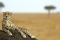 تخاف من الكلاب ولولا ذيلها لهلكت.. 7 معلومات مذهلة عن حيوان الفهد