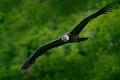 """قادر على الطيران 5 ساعات دون رفرفة جناحيه.. تعرف على """"نابش القمامة"""" أكبر طائر محلق ..."""