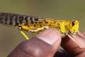 الجراد: لماذا تنذر هذه الحشرات بكارثة في بعض مناطق أفريقيا في 2020؟