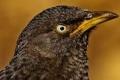 الثرثار ذو الحواجب السوداء.. طائر ظن الجميع أنه انقرض لكنه ظهر بعد 172 عاما