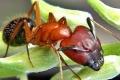 لحماية نفسه من الجراثيم.. النمل يبتلع سمومه
