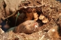 """فئران الخلد شبه العمياء """"ترى"""" الحقول المغناطيسية بأعينها"""
