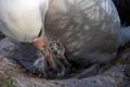 """""""ويسدوم"""" أنثى القطرس الأقدم والأشهر تضع فرخا في عمر الـ70"""