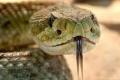 فحيح الأفاعي.. لغة الثعابين التي تصدرها دون أن تسمعها، هل تعرف لماذا؟