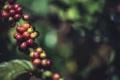 ماعز إثيوبية أم راهب يمني؟ عن تاريخ اكتشاف القهوة وانتشارها من شبه الجزيرة العربية إلى ...
