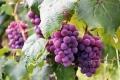 5 فوائد مذهلة تدفعك لإضافة العنب إلى نظامك الغذائي