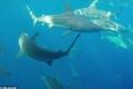 كيف تستطيع أسماك القرش الراحة وهي بحاجة للسباحة الدائمة كي تتنفس؟