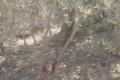 """الاحتلال يقرر اقتلاع آلاف أشجار الزيتون الفلسطينية في وادي قانا ومحكمته الصورية تقرر """"حقه"""" باجتثاث ..."""