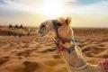 كيف يمكن للجمال البقاء على قيد الحياة لأسابيع في الصحراء دون ماء؟