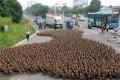 شاهد الصور... بهدف تقوية الروح المعنوية... مسيرة من 5 آلاف بطة للتنزه فى الصين