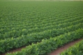 أمطار تشرين القوية تبشر بموسم زراعي جيد....والفقوس والدخان والبامية الأكثر استفادة