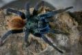 كارثة محتملة... عناكب قاتلة قد تلجأ إلى المنازل في هذه الدولة... فيديو