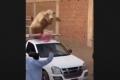 مصر.. عجل خارق حطم سيارة وكاد يقتل كل من حوله في عيد الأضحى (فيديو)