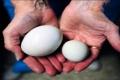 العثور على بيضة داخل بيضة عملاقة