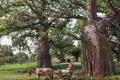 جذعها يسع 45 شخصا.. هذا ما لا تعرفه عن شجرة التبلدي