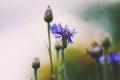 لماذا تندر الأزهار ذات اللون الأزرق في الطبيعة؟ العلماء يجيبون