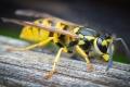 لماذا يحب البشر النحل ويكرهون الدبابير؟
