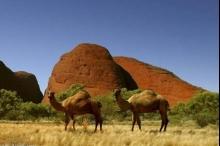 بحجة حماية البيئة والمناخ....استراليا تبيد الجمال وتُعدم أكثر من مليون