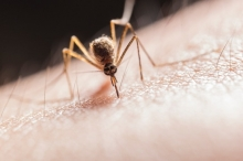 هل يمكن للبعوض أن ينقل فيروس كورونا بالصيف القادم؟