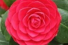 أندر زهرة في العالم تنمو في منطقتين فقط حول العالم