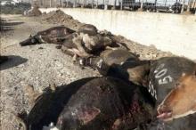 مقتل 49 بقرة على يد مسلحين بالخليل
