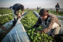 هل تهددُ كورونا الغذاء في قطاع غزة !!