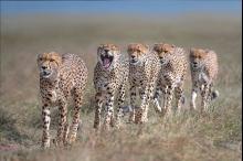 """فيديو-صور  """"تذكر الفهود"""" يبرز جمال أكبر قطة في العالم مهددة ..."""