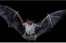 لماذا تحمل كل هذه الفيروسات؟... ما لا تعرفه عن الخفافيش ...