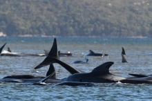 نفوق مئات الحيتان الطيارة في أكبر حدث من نوعه بتاريخ ...