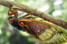 تخرج كل 17 عاما وتصدر ضجيجا عاليا.. حشرات الزيز تستعد ...