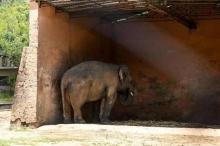 الفيل كافان.. المحكمة تأمر بإنهاء معاناة الحيوان الحزين
