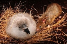 """""""هجمات شرسة"""" لعصابات الفئران.. والعلماء يحذرون"""