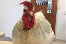 """بالصور.. الدجاجة """"أوليفيا"""" تتحول إلى """"ديك"""".. والأطباء يتدخلون"""