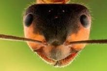 سر صلابة أسنان النمل.. الزنك يجعل منها حادة كمبضع الجرّاح