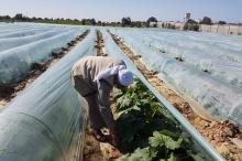 الأنفاق الزراعية في غزة.. ترشيدٌ لمياه الري ومحاصيل عضوية ونتاج ...