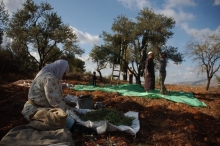 قرار رسمي للزراعة بمنع القطف المبكر للزيتون لتجنب خسارة بملايين ...