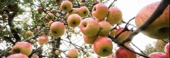 التفاح.. أكثر من 100 نوع وفوائده تمتد من القلب للدماغ