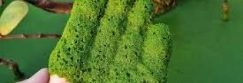 هذه أسرع نبتة في العالم وقد تساعد في إطعام البشرية