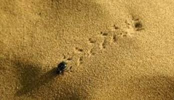 حشرة صغيرة علمتنا كيف نواجه العطش.. كيف ألهمت الخنفساء الصحراوية العلم ...