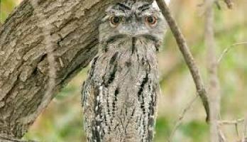 """رغم قبحه.. دراسة علمية حديثة تؤكد: طائر """"فم الضفدع"""" هو الأوفر حظا على ..."""